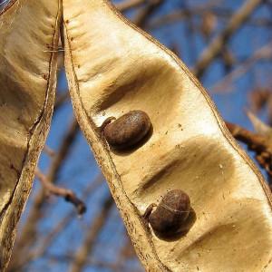 Семена акации белой