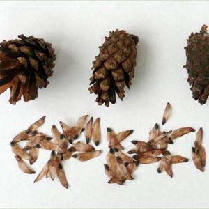Семена сосны обыкновенной